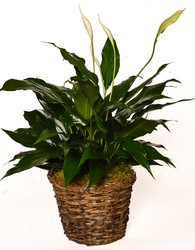 Peace Lily from Apples to Zinnias, the Gifted Florist in Dallas, Texas